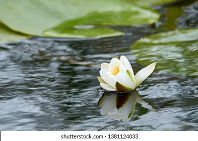 Blossom water Lilly with green leaves in the background with fluid refelction