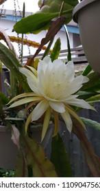 Blossom white epiphyllum