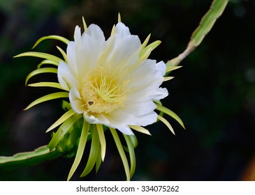 Picture Of A Dragon Fruit Flower