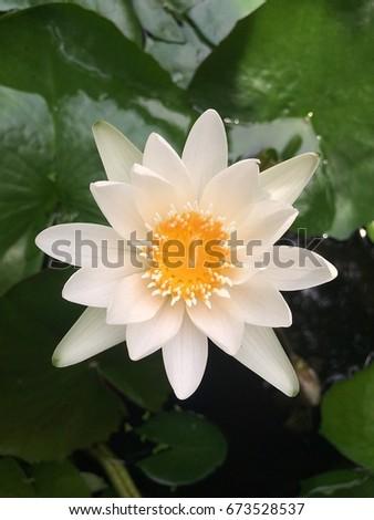 Blossom white lotus flower buddha day stock photo edit now blossom white lotus flower in buddha day in thailand mightylinksfo
