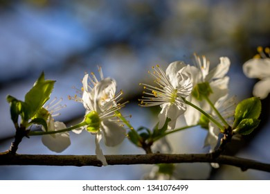 Blossom of a wild cherry tree in spring