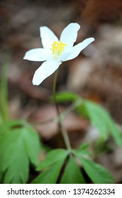 blossom of wind flower, anemone
