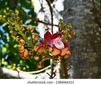 Blossom of wonderful cannonball flowers in cannonball tree