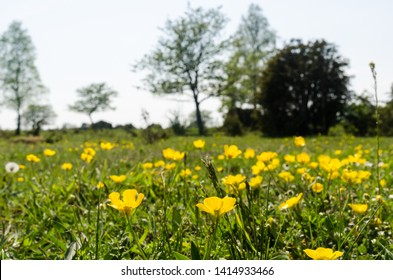 Blossom yellow Buttercups closeup in a green landscape at the island Oland in Sweden