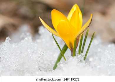 Blossom yellow crocus on the snow