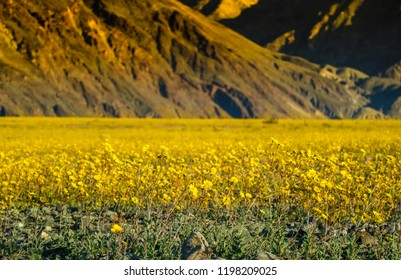 Death valley flowers images stock photos vectors shutterstock blossom yellow flowers death valley california mightylinksfo