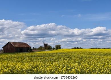 Blossom yellow rapeseed field on the swedish island Oland