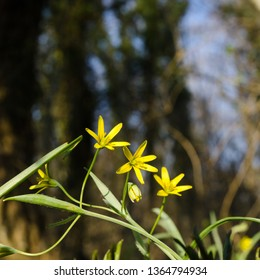 Blossom yellow Star of Bethlehem flowers in a forest