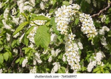 blossomed bird-cherry in the garden