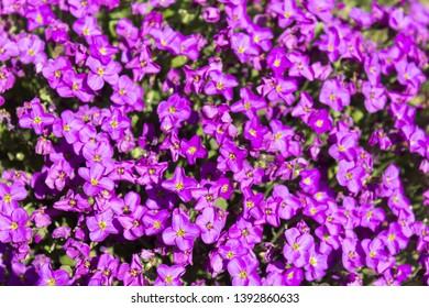 Blossomed purple Trailing Lobelia flowers /Lobelia Erinus Sapphire/ or edging Lobelia in a shiny spring day.