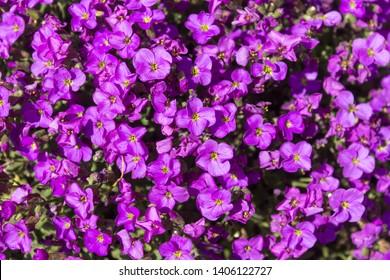 Lobelia Images Stock Photos Vectors Shutterstock