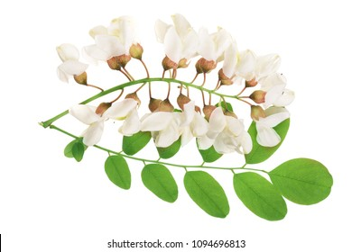 Blossoming acacia with leafs isolated on white background, Acacia flowers, Robinia pseudoacacia . White acacia