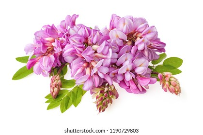 Blossoming acacia with leafs isolated on white background, Acacia flowers . Pink acacia