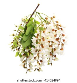 Blossoming acacia with leafs isolated on white background, Acacia flowers, Locust inflorescence (White acacia)