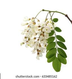 Blossoming acacia with leafs isolated on white background, black locust, Acacia flowers,  Robinia pseudoacacia (White acacia)