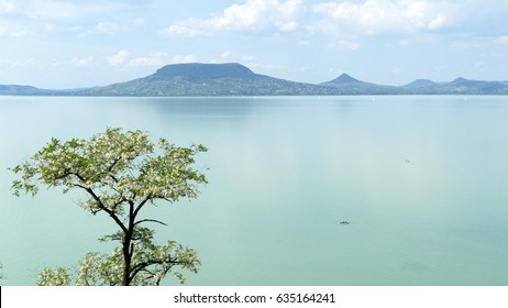 Blossoming acacia tree on the Balaton lakeside with hill Badacsony in the background