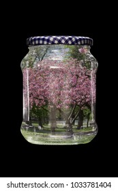 Blossoming Accolade Cherry Tree in a Glass Jar
