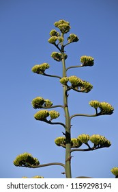 blossoming agave americana against the background of a contrasting blue sky