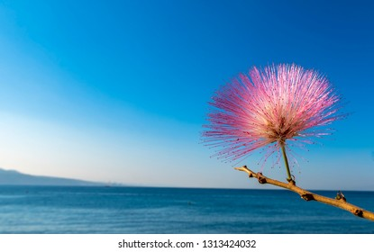 Blossoming Albizia julibrissin on background of the Red Sea. This plant is known as Lenkoran acacia tree as well as Persian silk tree