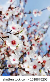 Blossoming almond flower in springtime, south of Portugal