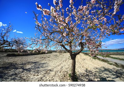 Blossoming almond spring in Spain
