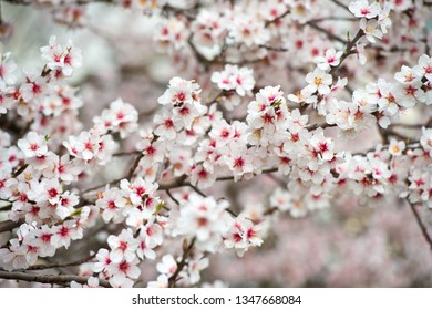 Blossoming almond tree branches, the background blurred.