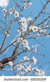 Blossoming almond tree in rural landscape with blue sky in Mallorca, Balearic islands, Spain in February.