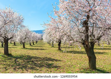 The blossoming almond trees in full bloom, Spain