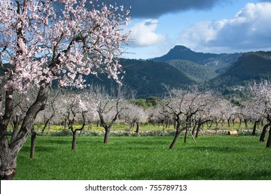Blossoming almond trees in rural landscape with blue sky in Mallorca, Balearic islands, Spain in February.