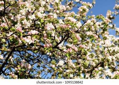 blossoming apple flowers on tree , shot in bright spring light near Rottweil, Baden Wuttenberg, Germany