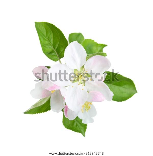 Цветущая ветвь яблони, изолированная на белом фоне