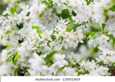 Blossoming apple tree branch. Spring flowers