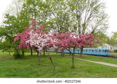 Blossoming apple tree Nedzvetski and subway train.