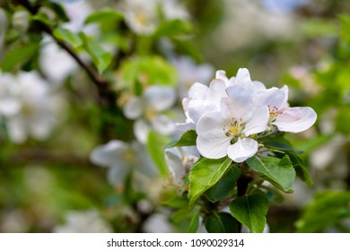 Blossoming apple apple tree in orchard. Macro apple flower on apple tree branch. Horizontal full frame crop with selective focus on flower
