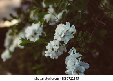 blossoming apple tree photographed at dusk