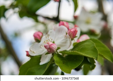 A blossoming apple tree in a spring garden. Zaporozhye region, Ukraine.