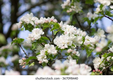 Blossoming apple tree twig with white flowers. Spring fruit tree blooming background