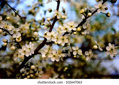 Blossoming apple tree with white flowers on blue sky background close-up, Sergiev Posad, Moscow region, Russia