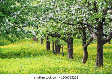 Blossoming apple trees in the botanical garden of Moscow State University