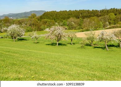 blossoming apple trees in  green springtime hilly countryside , shot in bright spring light near Rottweil, Baden Wuttenberg, Germany
