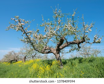 blossoming apple trees and yellow spring flowers under blue sky along dike in holland near geldermalsen in dutch betuwe