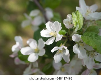 Blossoming of an apple-tree