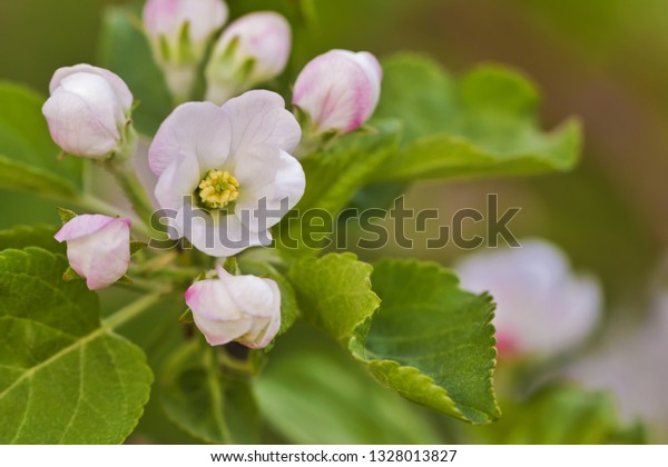The blossoming apple-tree branch, with a delicate flower and buds. Spring scene.