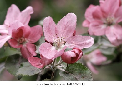 The blossoming apple-tree branch with pink colors a close up. Blurring a spring background horizontally with beautiful pink flowers of an apple-tree. Copy space. Malus. Rosaceae Family.