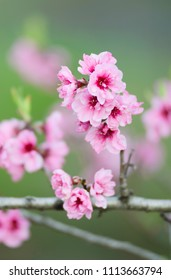 Blossoming apricot flowers