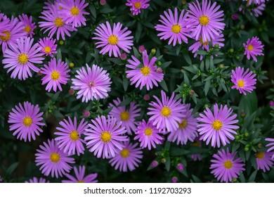 The blossoming Aster Symphyotrichum dumosum Rosenwichtel. Nature concept for design