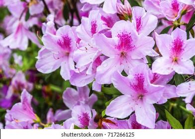 Blossoming azalea flowers