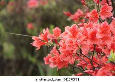 Blossoming azalea flowers in summer