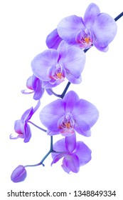 blossoming beautiful branch of trendy color proton purple orchid, phalaenopsis with drops is isolated on background, make up