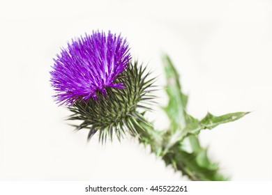 Blossoming beautiful flower with burdock prickles on a white background